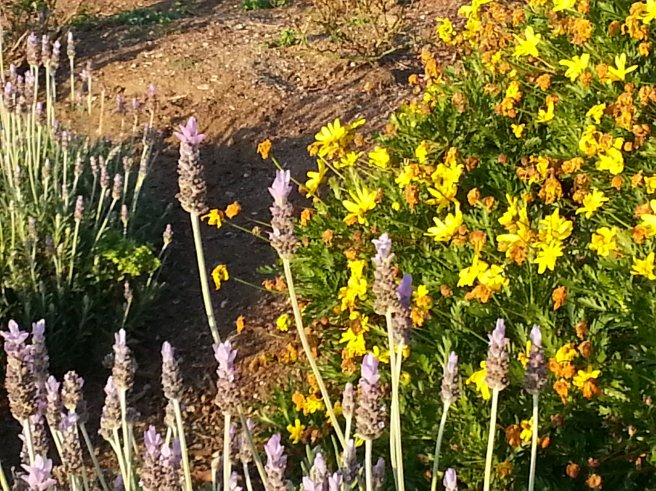 California Drought Friendly Flowers by southocbeaches.com